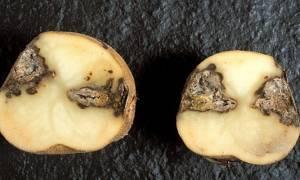 Болезни и вредители картофеля – искореняем главных врагов культуры