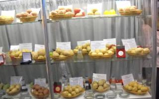 Лучшие сорта картофеля для северо запада России