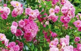 Как ухаживать за плетистой розой на даче?