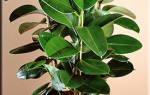 Описание растения фикус