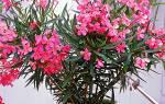Цветы комнатные олеандр