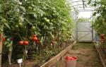 Урожайные сорта помидоров для теплицы средней полосы