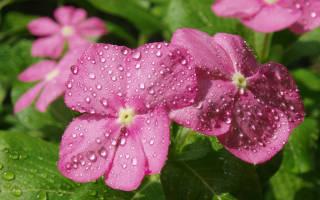 Как выращивать махровый бальзамин