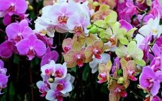 Цветение орхидеи фаленопсис в домашних условиях