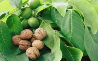 Выращивание саженцев грецкого ореха из ореха