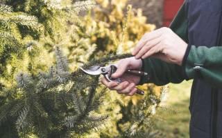 Как стричь елку на даче?