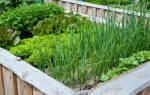 Как получить раннюю зелень на даче?