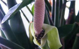 Цветет ли замиокулькас в домашних условиях