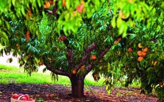 Как омолодить персиковое дерево?