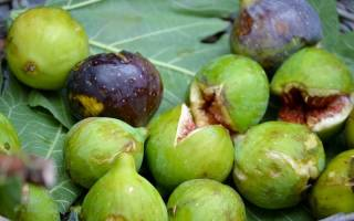 Правила выращивания инжира в домашних условиях