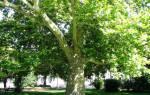 Чинара что это за дерево?