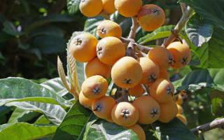 Мушмула германская – выращиваем самостоятельно