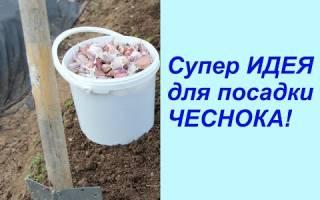 Озимый чеснок посадка и уход в Сибири