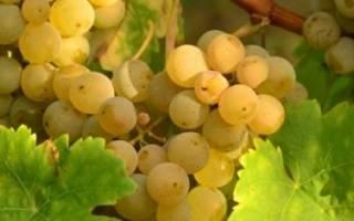 Уход за виноградом летом в средней полосе
