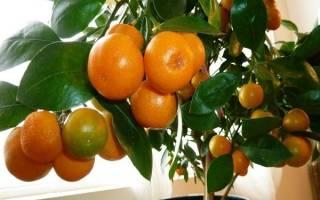 Как подрезать мандариновое дерево?