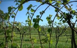 Как подвязать виноград на даче?
