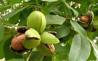 Как посадить грецкий орех чтобы выросло дерево?