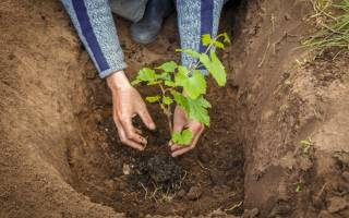 Где лучше посадить виноград на даче?