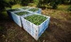 Авокадо в России выращивание