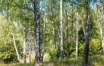 Сорта березы в России