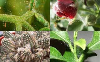 Как вывести паутинного клеща с комнатных цветов