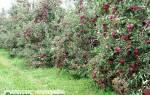 Обрезка деревьев летом – как не навредить?