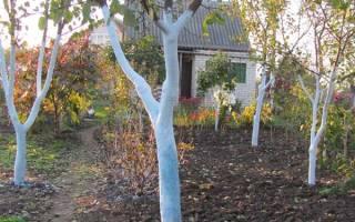 Можно ли белить молодые саженцы осенью?