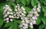 Как размножается каштановое дерево?