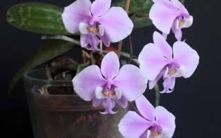 Фаленопсис микс орхидея