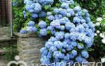 Голубые комнатные цветы