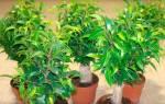 Фикус наташа желтеют и опадают листья