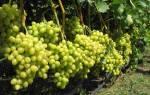 Ранние сорта винограда для юга России