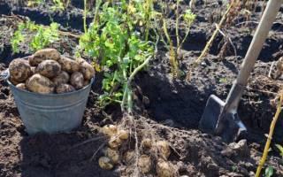 Когда выкапывают картошку в средней полосе России?