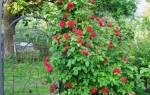 Сорта роз для северо запада России