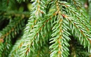 Как посадить елку на даче?