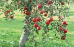 Когда лучше покупать саженцы плодовых деревьев?