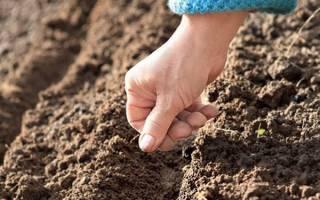 Посадка репы – что необходимо для получения богатого урожая?