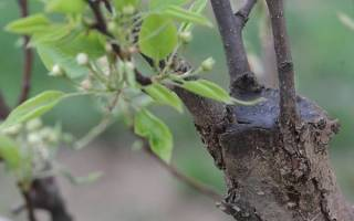 Как прививать саженцы плодовых деревьев?