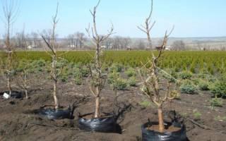 Как правильно посадить саженец персика осенью?