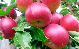 Посадка однолетних саженцев яблони