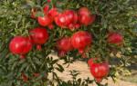 Как посадить гранатовое дерево?
