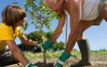 Когда можно высаживать саженцы деревьев?