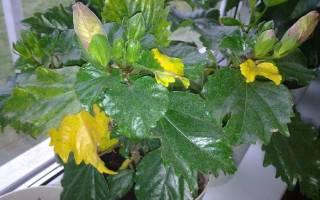 Почему у гибискуса садового желтеют листья