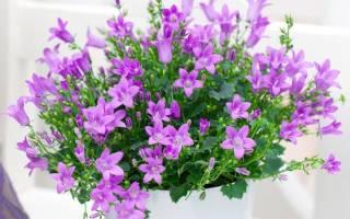 Жених цветок комнатный