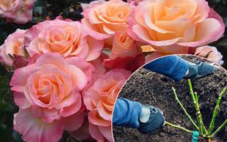 Как правильно посадить саженцы роз осенью?