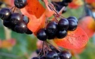 Лечебные свойства черноплодной рябины и противопоказания к её употреблению