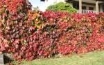 Как посадить девичий виноград на даче?