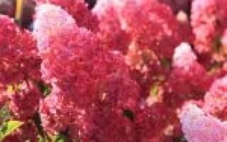 Гортензия метельчатая мельба фрайз описание