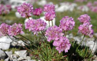 Армерия: цветок-трава для нашего ландшафта