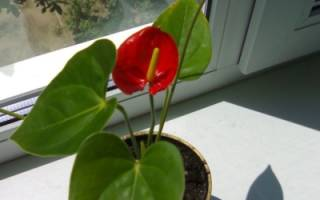 Женское счастье красный цветок